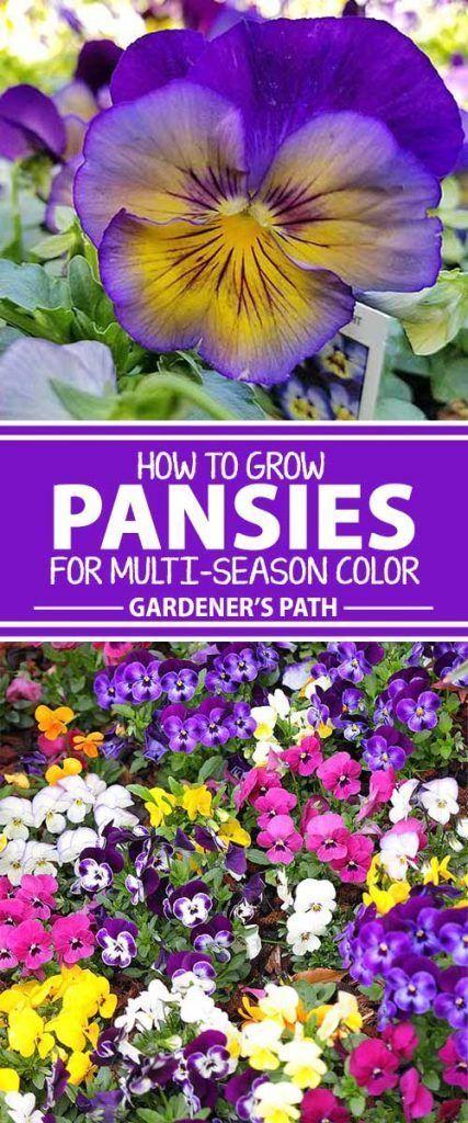 How To Grow Pansies And Violas For Multi Season Color Gardener S Path Winter Pansies Pansies Flowers Fall Garden Vegetables