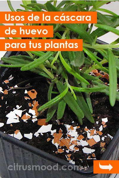 Usos De La Cáscara De Huevo Para Tus Plantas Cascara Huevo Plantas Flores Abono Fertilizante Green Green Beans Go Green
