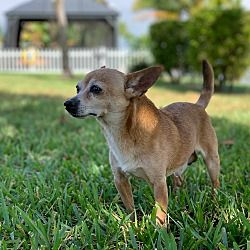 Merritt Island Fl Chihuahua Meet Wilmer A Pet For Adoption