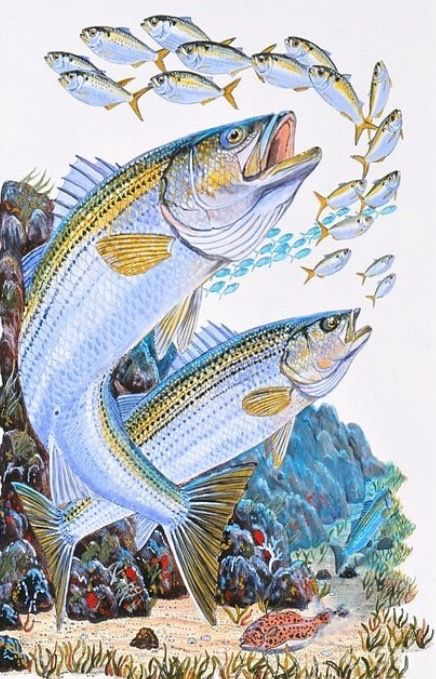 Pin By Beachbelle On Marine Art Fish Art Art Striped Bass