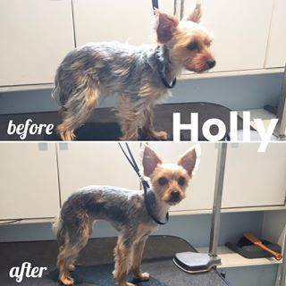 Holly Is Enjoying Her First Groom At The Spa She Can T Wait To Show Off Her New Look To The City Chorkieinthecity Yorkiesofi Pets Pet Grooming Dog Grooming