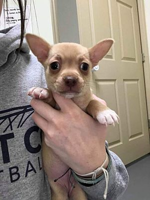 New York Ny Puppy Chihuahua Meet Jasmine A Pet For Adoption