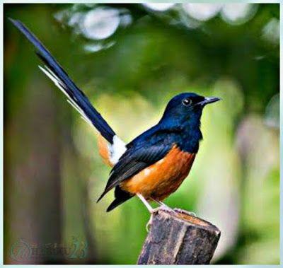 Burung Murai Batu Kalimantan Binatang Hewan Binatang Lucu