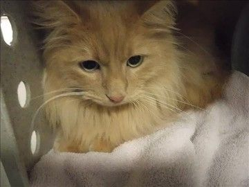 Check Out Oxenfree S Profile On Allpaws Com And Help Him Get Adopted Oxenfree Is An Adorable Cat That Needs A New Home H Cat Adoption Cute Cats Animal Rescue
