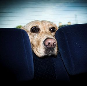 Motion Sickness Remedies For Dogs Car Sick Dog Sick Dog Dogs
