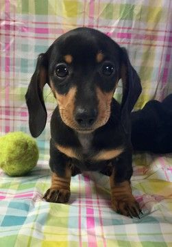 Dachshund Puppy For Sale In Sumter Sc Adn 70366 On Puppyfinder