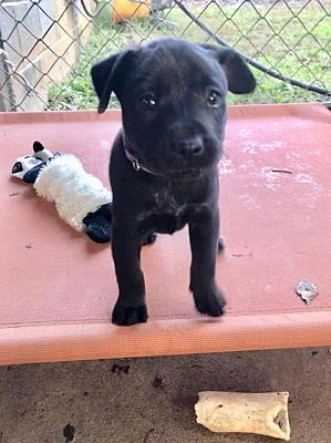 Waxhaw Nc Labrador Retriever Meet Ophelia A Pet For Adoption Labrador Retriever Labrador Retriever