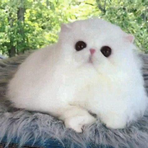 Tô até agora sem entender se é um gato de verdade 🤔😮 lindo até parece um ursinho 😍