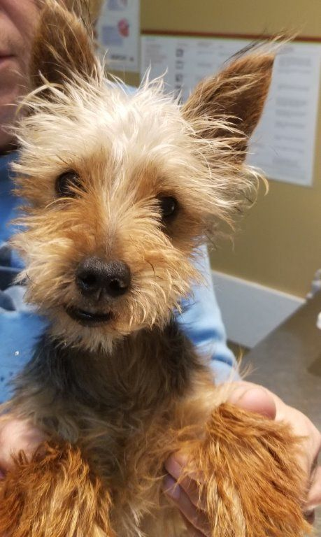 Adopt Stevie On Yorkshire Terrier Dog Yorkshire Terrier Rescue