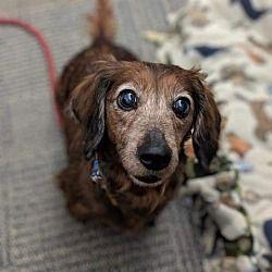 Gloversville New York Dachshund Meet Poppy A For Adoption Https Www Adoptapet Com Pet 24911542 Gloversville New York Dachshund Dachshund Adoption Pets