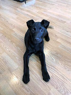 Schaumburg Il Labrador Retriever Meet Rory A Pet For Adoption Labrador Retriever Labrador Puppy Labrador Puppy Training