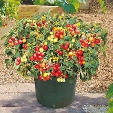 40 Beautiful Fruit Plants In The Pot Decoarchi Com Growing Tomato Plants Growing Cherry Tomatoes Cherry Tomato Plant