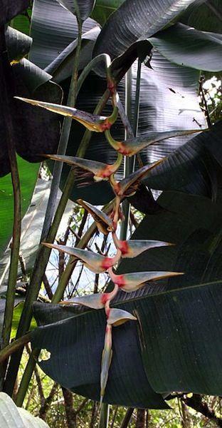 Tropical WOW flowers Banana foliage! Heliconia Griggsiana Seeds