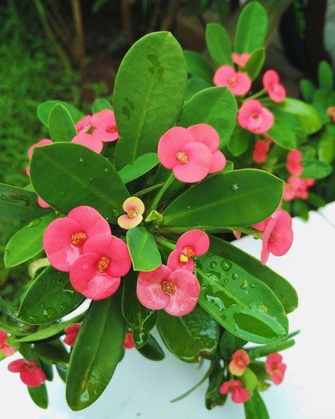 After The Rain Euphorbia Flowers Bunga Euphorbiamilii Euphorbiaceae Pink Green Beautiful Flowerlover Floweraddict Pinklover Pinkaddict