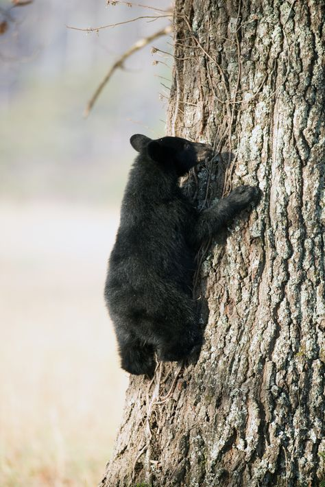 The Smoky Mountains have such beautiful wildlife. Here is a bear cub climbing a tree in Cades Cove.