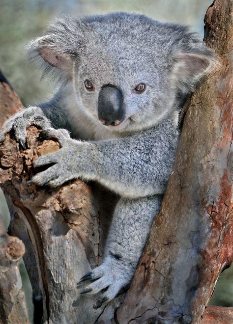 Koala cuteness overload  Flickr