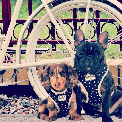 Old Skewl Cool    #oldskewl #vintage #puppy #bycicle #dog #frenchie #doxie #frenchbulldog #dachshund #chocolatedapple #brindle #love #inspiration #dogmodel #fashionblogger #matchymatchy #squad #squadgoals #pack #packgoals #alpha #inspiration #throwback #dogsofinstagram #frenchiesofinstagram #minidachshund #dachshundsofinstagram #byciclevintage