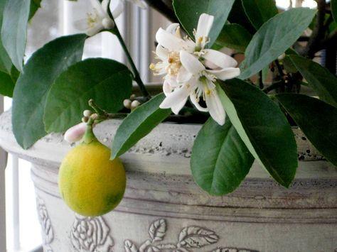 Cultiver Des Agrumes En Pots Pratique Fr Cultiver Citronnier Agrumes