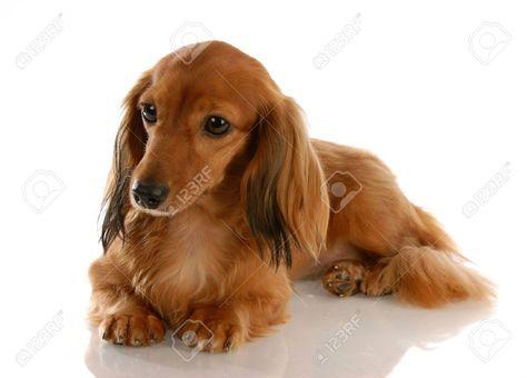 Long Hair Dachshund Long Haired Miniature Dachshund Laying Down