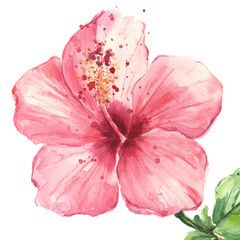 Pink Hibiscus Flower Isolated On White Background Watercolor Hibiscus Drawing Hibiscus Flower Tattoos Watercolor Flowers