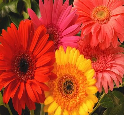 Jaguar Mix Gerbera Produces 3 4 Semi Double Bold Colored Blooms These Large Decorative Flowers Are Great In The Gerber Daisies Gerbera Daisy Pretty Flowers