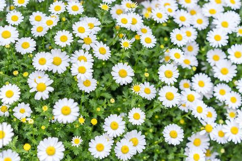 A small field of happy little flowers in Omiya, Saitama, Japan.