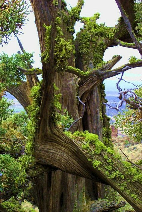 Bonsai, Weird Trees, Magical Tree, Unique Trees, Trees Beautiful, Old Trees, Tree Trunks, Nature Tree, Tree Forest