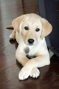 Labrador Retriever Puppy Watching You Watching Him Cute Labrador Puppies Labrador Retriever Puppies Cute Puppies