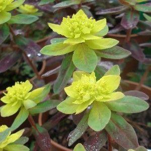 Euphorbia Polychroma Bonfire Euphorbe Polychrome Euphorbe