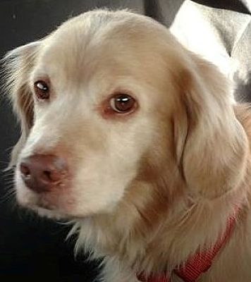 Etters Pa Cocker Spaniel Meet Kovu A Dog For Adoption