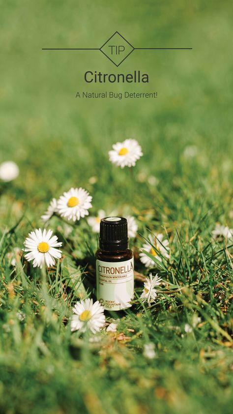 Shoo, fly — don't bother me! 🦟 Tell pesky insects to 'bug-off' with 100% pure Citronella essential oil! Diffuse in your space, or dilute and apply topically with a carrier oil for a sweet and lemony-fresh bug deterrent that is all-natural! #wednesdaytip  #rockymountainoils #rmo #essentialoils #oiltip #essentialoiltip #didyouknow #bugdeterrent #bugs #oilsforbugs #oilhelp #essentialoilhelp #aromatherapy #citronella #flowers #camping #outdoors #natural