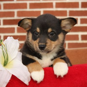 Pembroke Welsh Corgi Puppy For Sale In Gap Pa Adn 59103 On Puppyfinder Com Gender Ma Corgi Puppies For Sale Welsh Corgi Puppies Pembroke Welsh Corgi Puppies