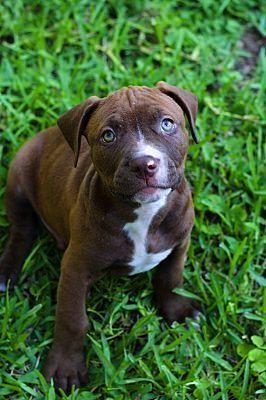 Check Out What I Foundpitbull Mix Puppies For Sale Illinois D Pitbull Terrier Pitbulls Dog Adoption
