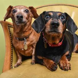 Dachshund Puppies For Sale Daschund Dog Dachshund Puppies For