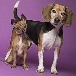 Chicago Il Beagle Meet Bonnie Clyde A Dog For Adoption Pet Adoption Beagle Dog Adoption