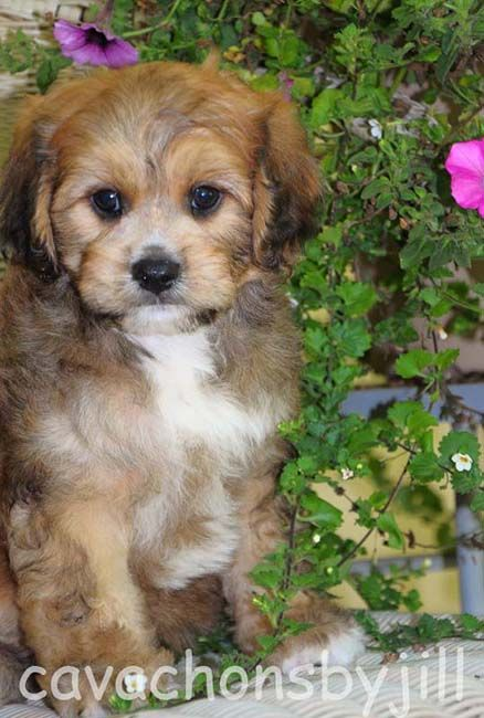 Cavachons By Jill We Breed For Calm Beautiful Cavachons Family Raised Cavachon Puppies Baby Dogs Dog Breeder