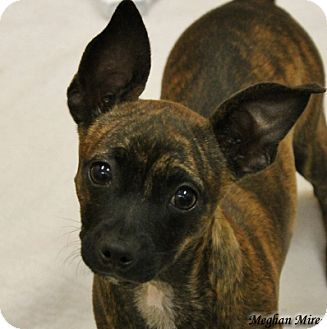 San Mateo Ca Chihuahua Mix Meet Ophelia A Puppy For Adoption