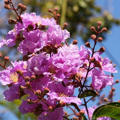 Flower Of Maharashtra Taman Plant Lagerstroemia Plants Trees To Plant