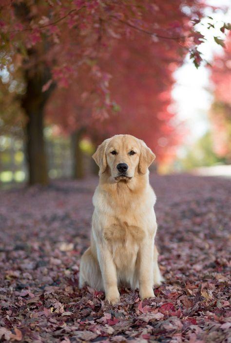 Pin De Gabi En Perros Perros Perros Golden Bebes Perros Cachorros