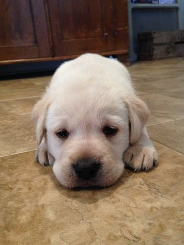 Labrador Retriever Puppy For Sale In Strasburg Pa Adn 63188 On