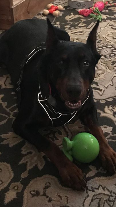 Calling All Doberman Lovers Adopter Or Foster Needed Meet Sloan A Free To Good Home Dog Off Craigslist Her Foste Cat Diseases Doberman Adoption Costs