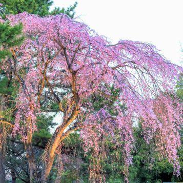 Yoshino Weeping Cherry Tree Weeping Cherry Tree Flowering Cherry Tree Cherry Tree