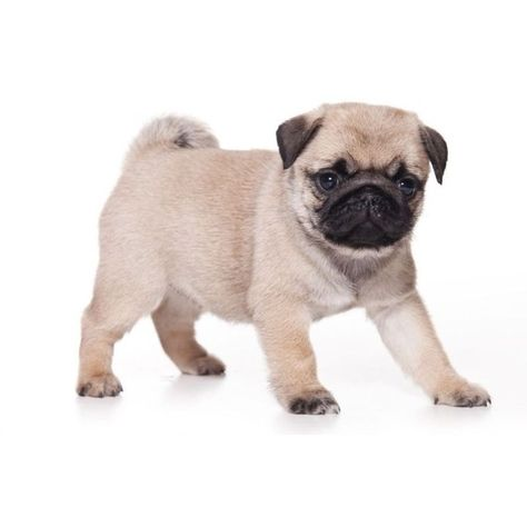 Wanting Pug Puppy To Buy Liked On Polyvore Featuring Animals