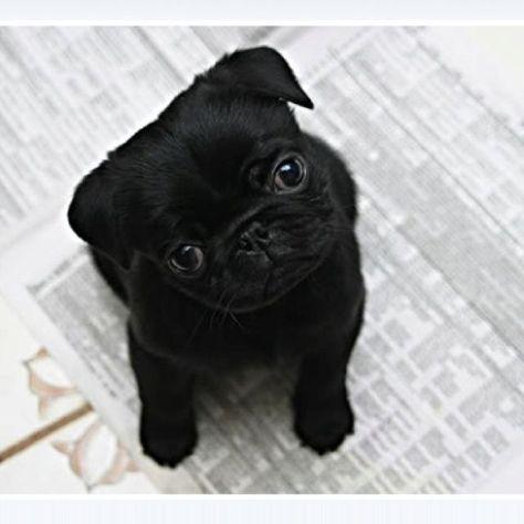 Baby Pugs Tumblr Google Search Black Pug Puppies Baby Pugs