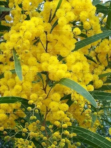 20pcs Golden Mimosa Acacia Baileyana Yellow Wattle Tree Bonsai Flower Aromatic Plant Decora Australian Flowers Australian Wildflowers Australian Native Flowers