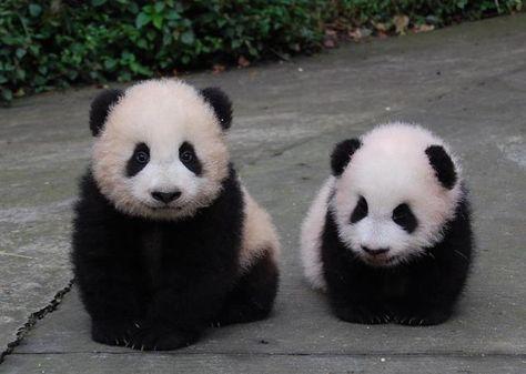 oh panda, the cuteness