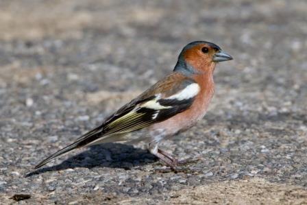 Vogel Des Monats Der Buchfink Buchfink Haussperling Und Finken