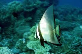 Pinnate Spadefish Pinnate Batfish Dusky Batfish Shaded Batfish Or Red Faced Batfish Google Search Fish Batfish Angel Fish