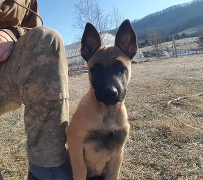 Belgian Malinois Puppy For Sale In Tazewell Tn Adn 64470 On Puppyfinder Com Gender Femal Belgian Malinois Puppies Malinois Puppies For Sale Belgian Malinois