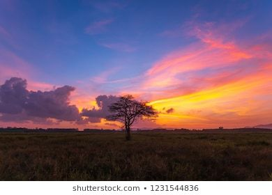 Hakea Tree Stands Alone Australian Outback Stock Photo Edit Now